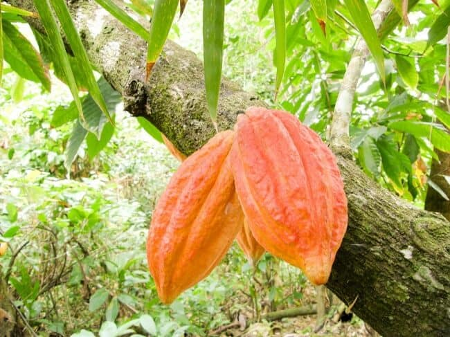 African black soap cocoa pod